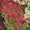 Heuchera 'Paris'®