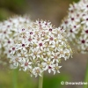 Allium 'Silverspring'