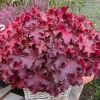 Heuchera 'Indian Summer Cranberry'®
