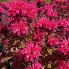 Monarda 'Bee-Happy'®