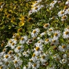 Boltonia asteroides 'Snowbank'
