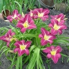 Hemerocallis 'Lavender Deal'