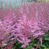 Astilbe chinensis 'Veronica Klose'