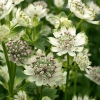 Astrantia major 'Star of Billion'®