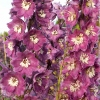 Delphinium 'Magic Fountains Lilac-rose', white bee