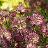 Astrantia major 'Star of Beauty'®