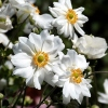 Anemone japonica hybr 'Whirlwind'