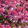 Echinacea 'Pink Double Delight'®