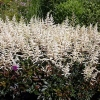 Astilbe arendsii 'Cappuccino'®