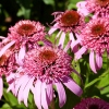 Echinacea 'Butterfly Kisses'®