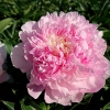 Paeonia lactiflora 'Angel Cheeks'