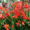 Crocosmia 'Carmine Brilliant'